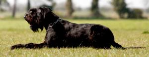 giant schnauzer schutzhund